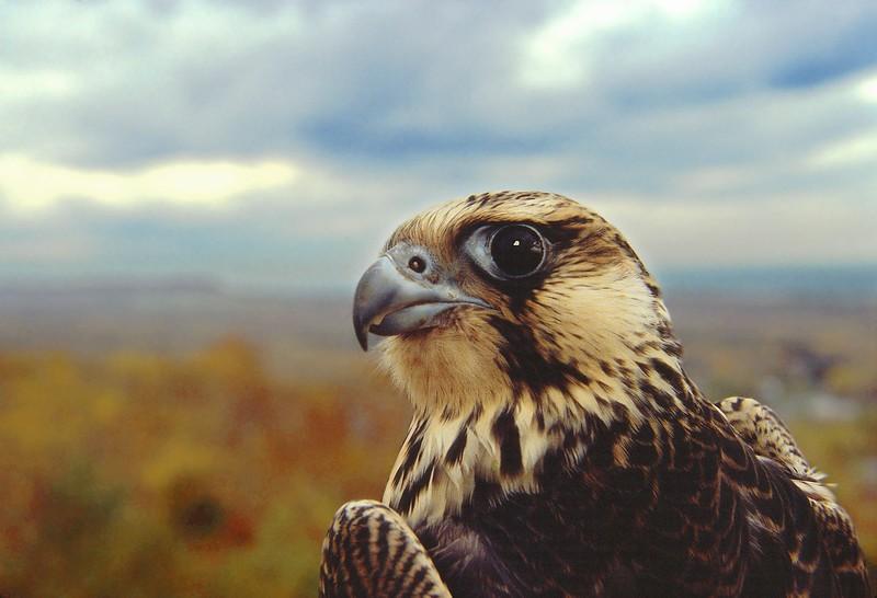 A recently banded Peregrine Falcon at Duluth's Hawk Ridge Bird Observatory [September; Hawk Ridge, Duluth, Minnesota]