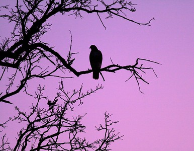 Red-tailed Hawk hunts at sunset [near Grantsburg, Wisconsin]