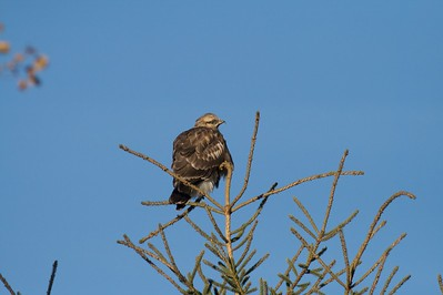 Rough-legged Hawks nest on the open tundra of the Far North. In late fall and winter they hunt small rodents in the northern U.S. [October; Skogstjarna, Carlton County, Minnesota]
