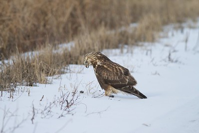 A Rough-legged Hawk feeding on a small rodent it just caught [December; Sax-Zim Bog, Minnesota]