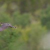 A dreamy composition of a migrating Sharp-shinned Hawk over Duluth [September; Hawk Ridge, Duluth, Minnesota]