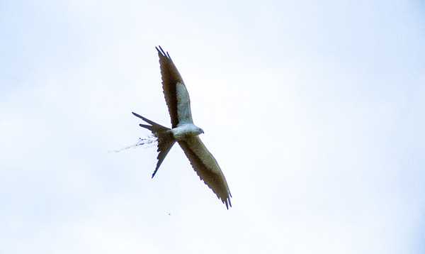 Swallow-tailed Kite Florida bird SLIDE SCAN 4