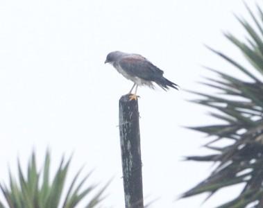 White-tailed Hawk Laguna Atascosa NWR TX 807_0776 (1) CRW