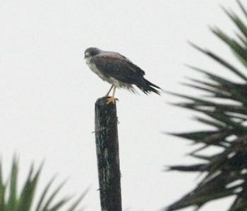 White-tailed Hawk Laguna Atascosa NWR TX 807_0775 (1) CRW