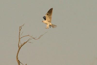 White-tailed Kite Pharr TX 407_0723