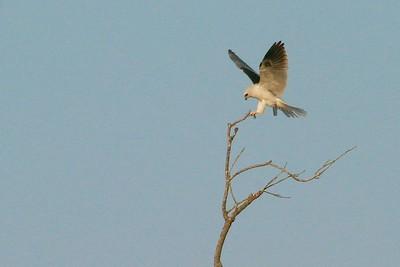 White-tailed Kite Pharr TX 407_0724 (1)