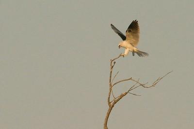 White-tailed Kite Pharr TX 407_0724