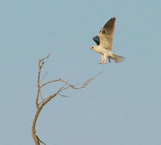 White-tailed Kite Pharr TX 407_0723 (1)