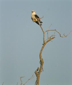White-tailed Kite Pharr TX 407_0750