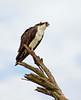Osprey on tree, Florida (21)