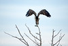 Osprey on tree, Florida (4)