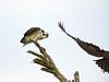 Osprey on tree, Florida (22) copy 2