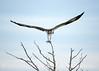 Osprey on tree, Florida (5)