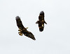 Imm bald eagle stealing fish fm another (3)
