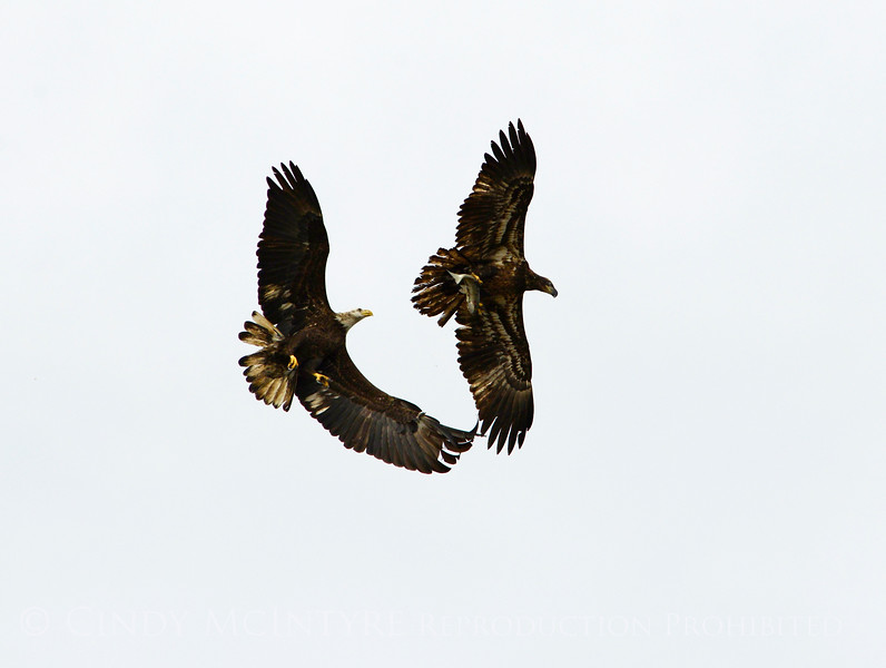 Imm bald eagle stealing fish fm another (4)