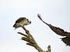 Osprey on tree, Florida (22)