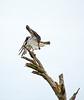 Osprey on tree, Florida (6)