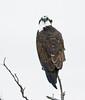 Osprey on tree, Florida (1)