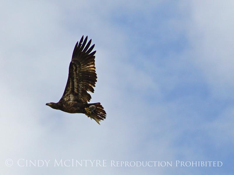Imm bald eagle wFish (2)