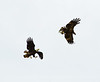 Imm bald eagle stealing fish fm another (2)