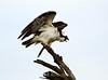 Osprey on tree, Florida (23)