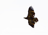 Imm bald eagle wFish (4)