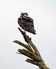 Osprey on tree, Florida (17)