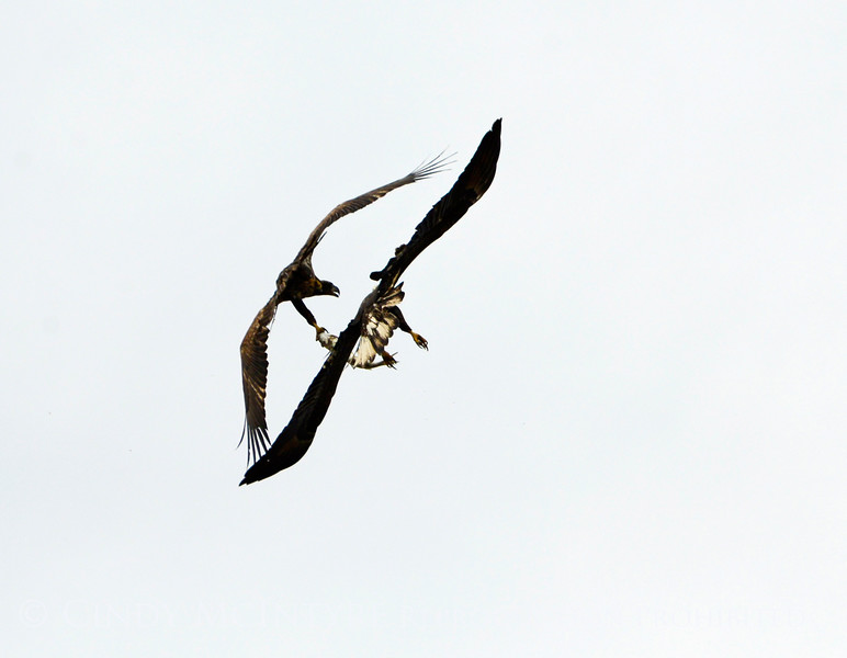 Imm bald eagle stealing fish fm another (9)