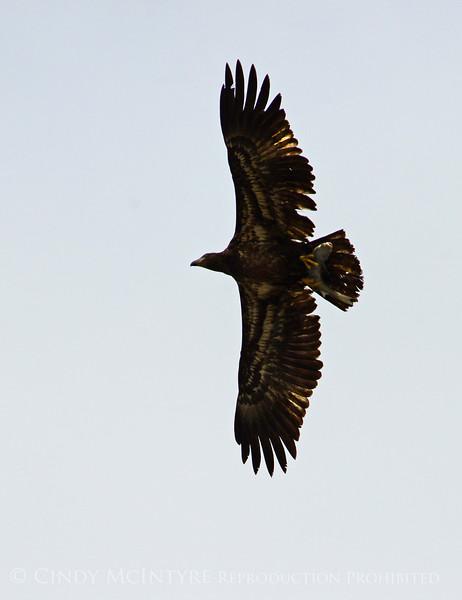 Imm bald eagle wFish (7)