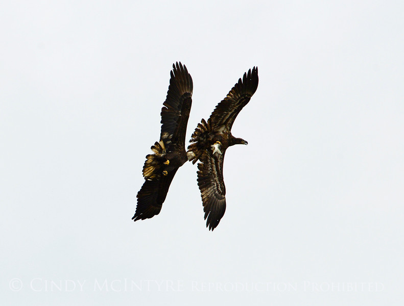 Imm bald eagle stealing fish fm another (6)