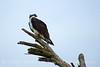 Osprey on tree, Florida (8)