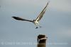 Osprey eating fish, Florida (28)