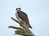 Osprey on tree, Florida (9)