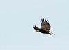 Imm bald eagle Florida
