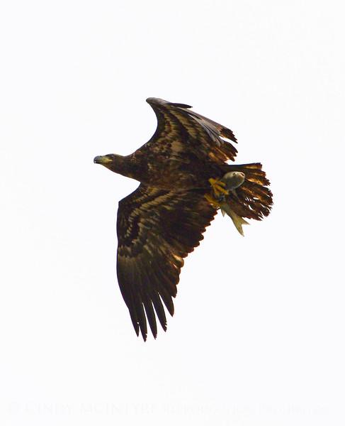 Imm bald eagle wFish (6)