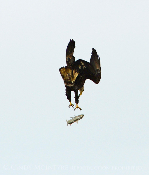 Imm bald eagle stealing fish fm another (18)