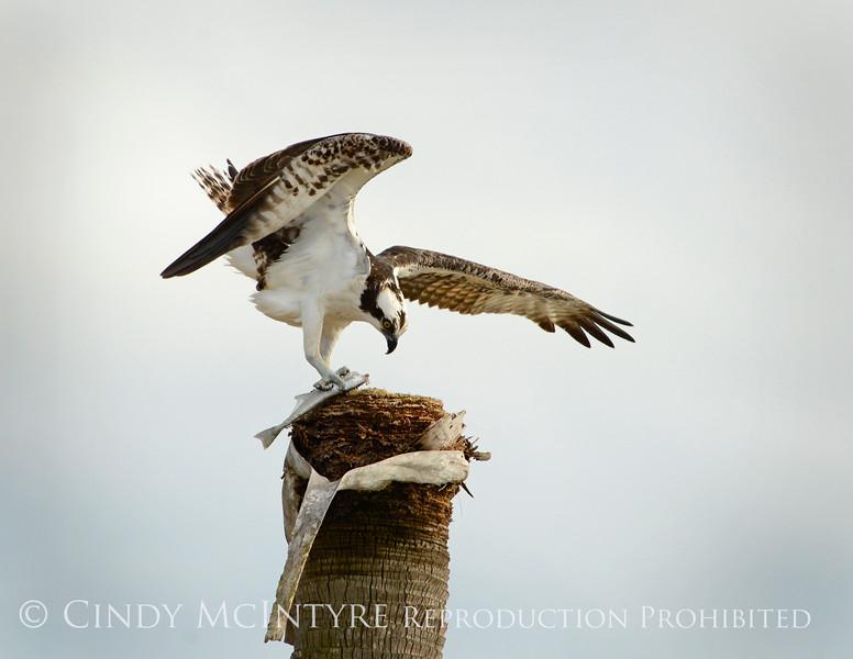 Osprey eating fish, Florida (7)