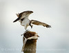 Osprey eating fish, Florida (7)