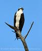 Osprey on dead tree, FL (66)