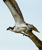Osprey eating fish, Florida (33)