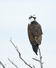 Osprey on tree, Florida (3)