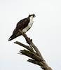 Osprey on tree, Florida (19)