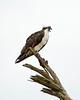 Osprey on tree, Florida (20)