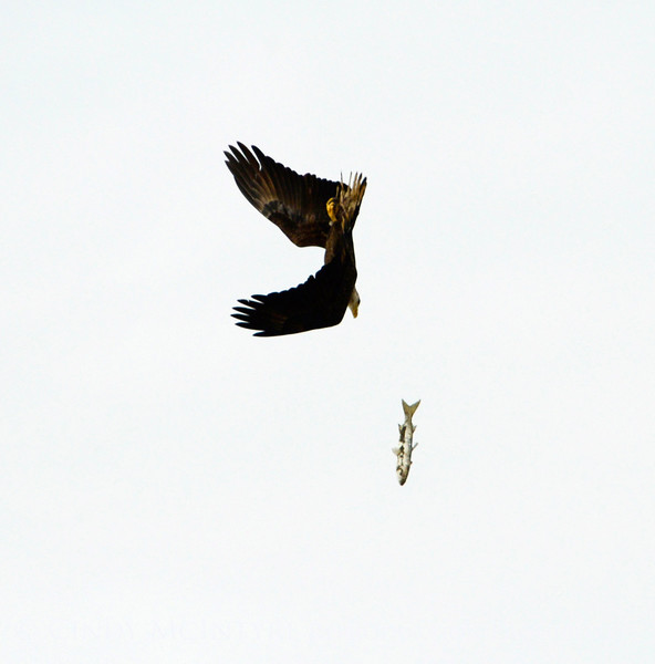 Imm bald eagle stealing fish fm another (15)
