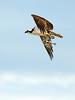 Osprey eating fish, Florida (32)