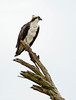 Osprey on tree, Florida (18)