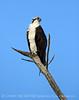 Osprey on dead tree, FL (70)