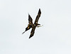 Imm bald eagle stealing fish fm another (7)