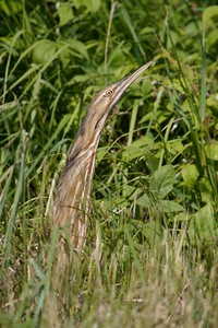 Thinking he can't be seen, this American Bittern freezes to blend in with the grasses [July; Superior National Forest, Minnesota]