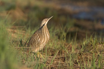 American Bittern trying to hide [May; Sax-Zim, St. Louis County, Minnesota]